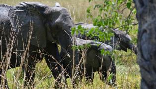 Słonie w Botswanie