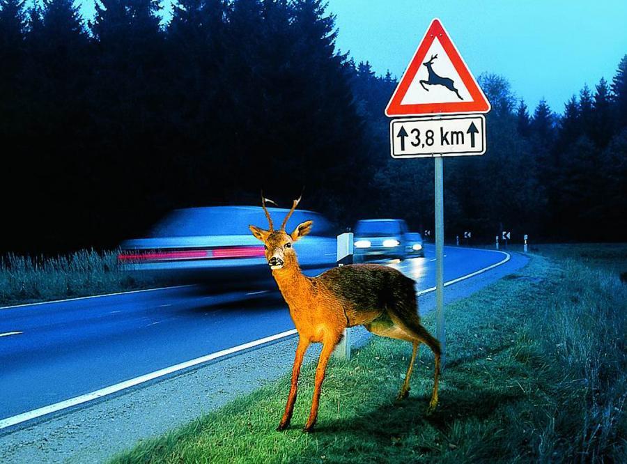 Jak nie wjechać w jelenia