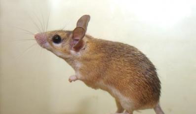 Myszy są jak ludzie - piszczą podczas seksu