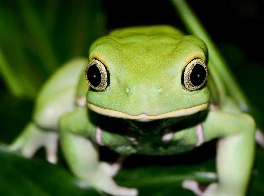 Żabie białko można wykorzystać do leczenia ponad 70 chorób