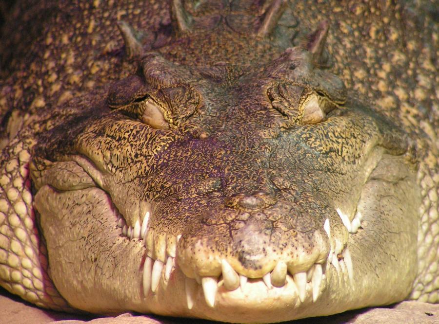 Ukraińcy nareszcie znaleźli krokodyla zbiegłego z cyrku