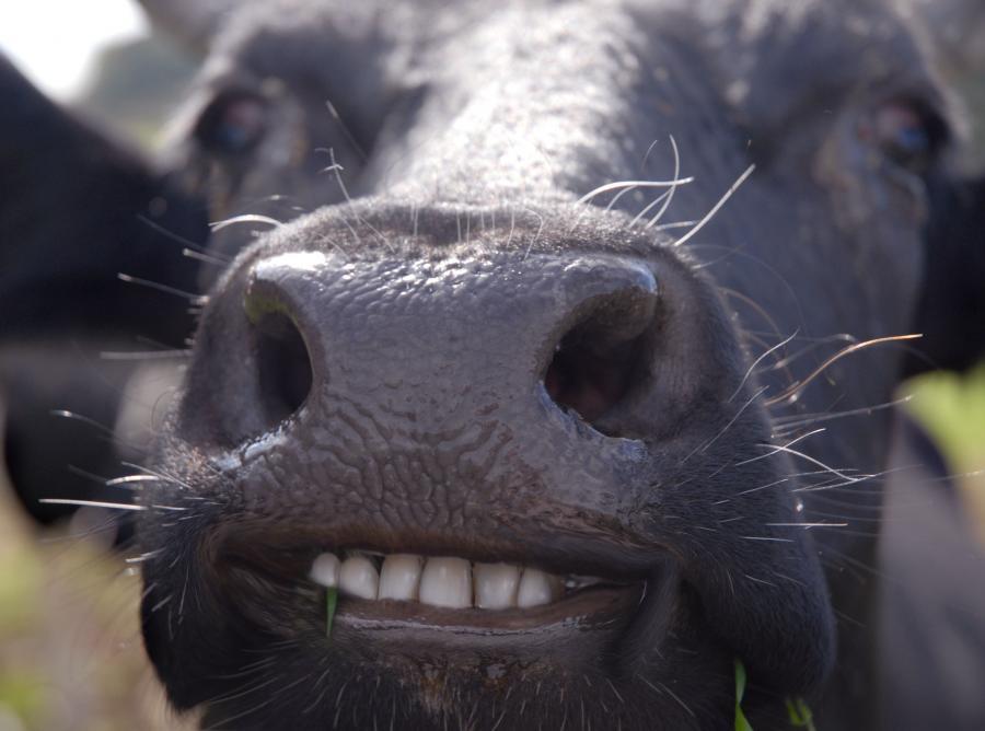 Kolagen z mięśnia sercowego krowy pomoże leczyć paradontozę