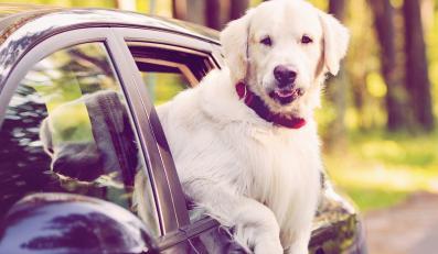 Pies w podróży. Samochodem na urlop
