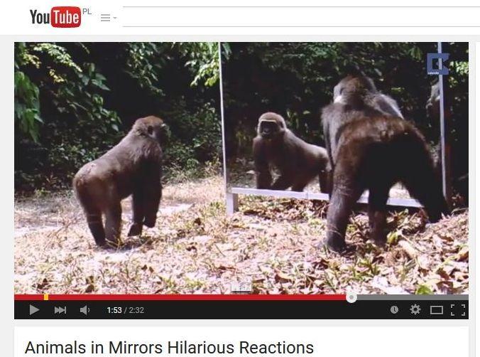 goryle przed lustrem