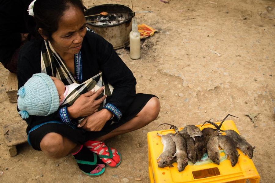 Myszoskoczek jako element diety Laotańczyków; fot. T. Bogusz / Pirania na kolację
